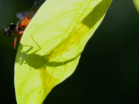 Shadow of a damselfly.jpg