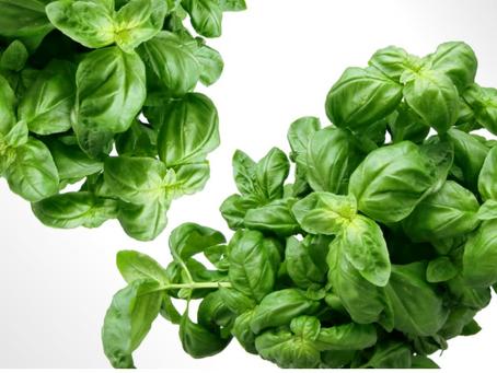 Basil - Medicinal Uses
