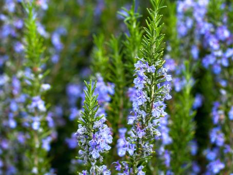 Garden Herbs for Health: Rosemary