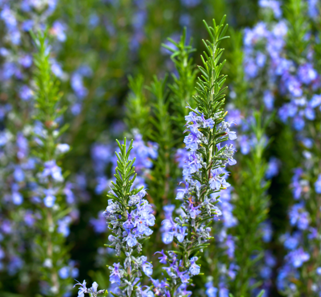 Rosemary in flower www.lifeloveandlettuce.com