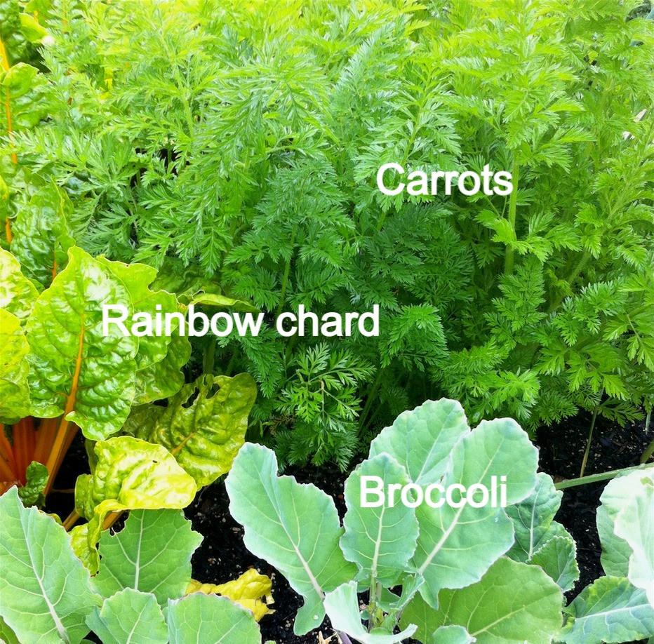 Carrots, chard & broccoli in small garden bed www.lifeloveandlettuce.com