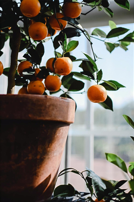 Citrus in terracotta pot www.lifeloveandlettuce.com