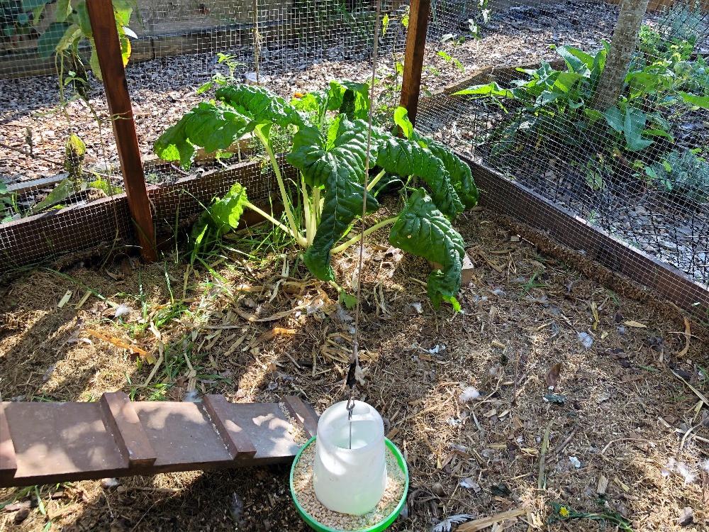 Silverbeet growing in the chook house www.lifeloveandlettuce.com