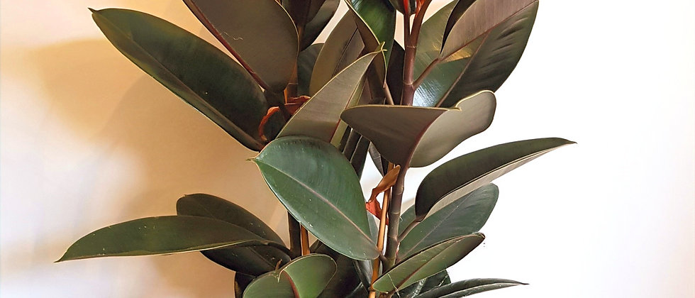 XL Rubber Plant