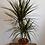 Thumbnail: Dracena Plant