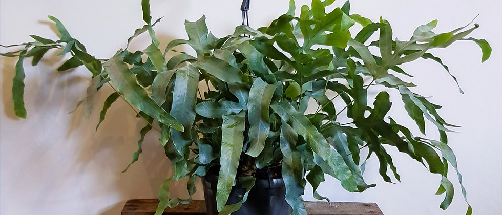 Phlebodioum Fern