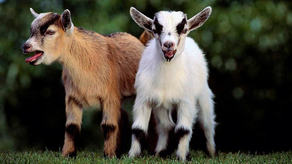 pygmy-goat.jpg