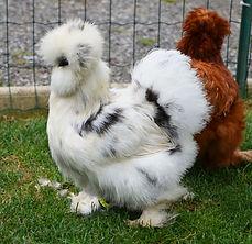 poules de soie.jpg