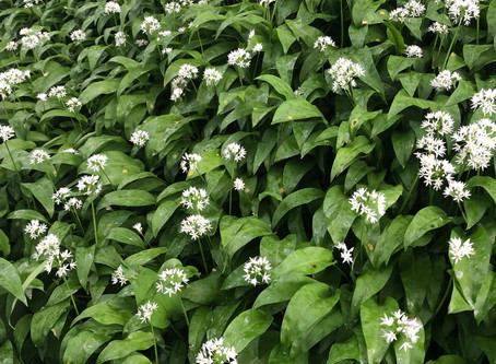 Wild Garlic Riverside Walk