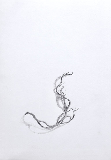 Ascophyllum nodosum - knotted wrack Pencil drawing on paper