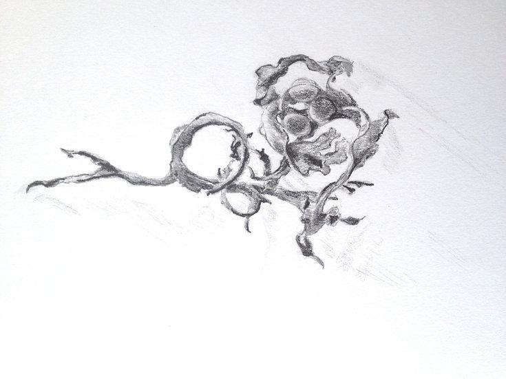 Fucus drawing