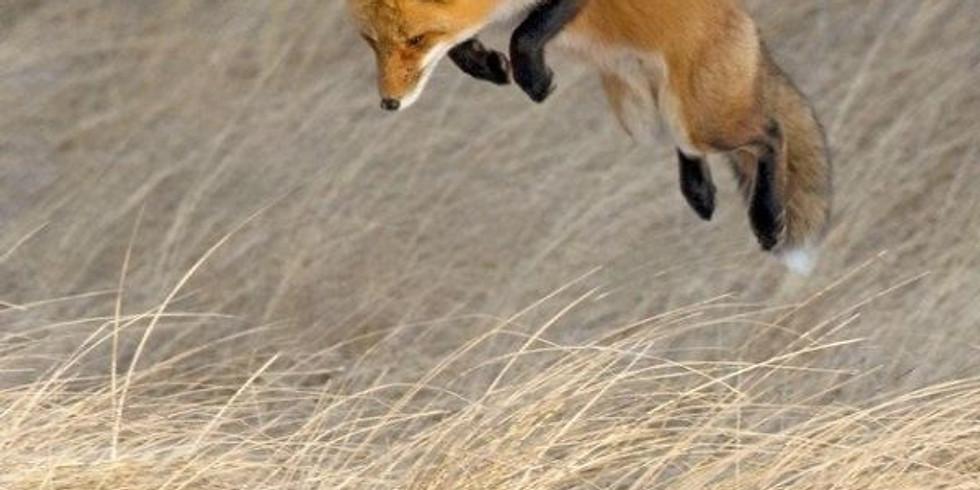 NPAC Zoom Painting - Fox in Flight (Day 2)