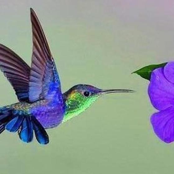 NPAC In-Class Pastel - Humingbird