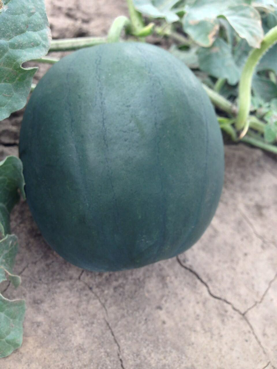 black seedless watermelon