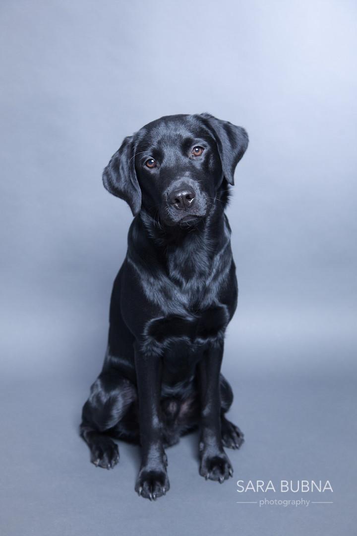 Hundeshooting, Hundefotos, Hunde, Labrador, schwarz, Salzburg, Fotografin, zertifizierte berufsfotografin, Fotostudio, QAP, EP, Meisterfotografin, Tiere, Portratis