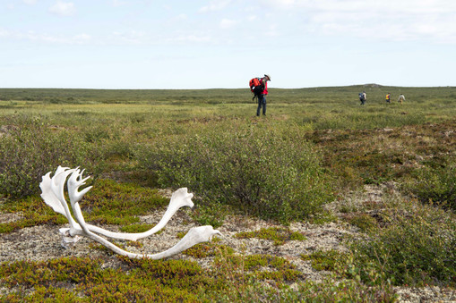Caribou antlers with geologists migrating across the tundra
