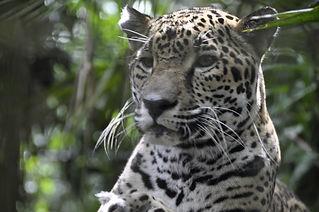 Belize Jaguar Preserve at Cockscomb Basin