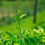 tea245243543.jpg