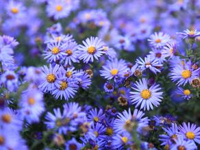 Aster - September Flower of the Month