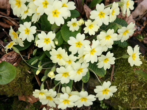 Primrose - February Flower Of The Month