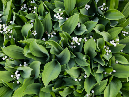 Lily of the Valley - May Flower of the Month
