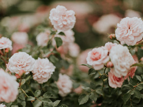 Rose - June Flower of the Month