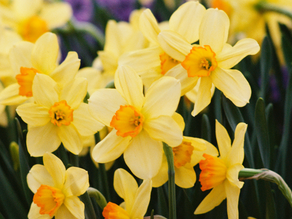 Daffodils - March Flower Of The Month