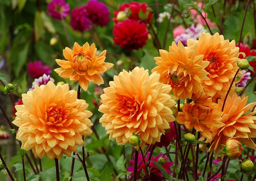 Bright Dahlia flowers.png