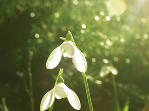 Snowdrop - January Flower Of The Month