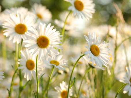 Daisy - April Flower of the Month