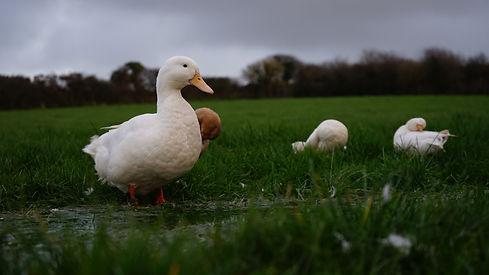 Happy Ducks | working farm holiday | Newquay