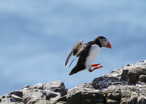 Puffin jumping