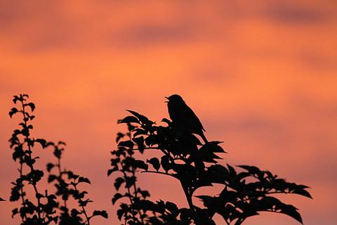 Robin singing at dawn