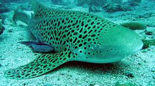 Leopard Shark Spotted at Maahlos