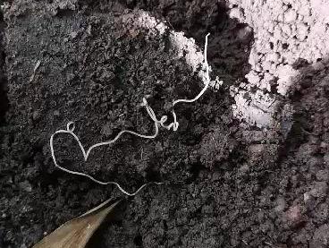 Tape Worm in the Garden