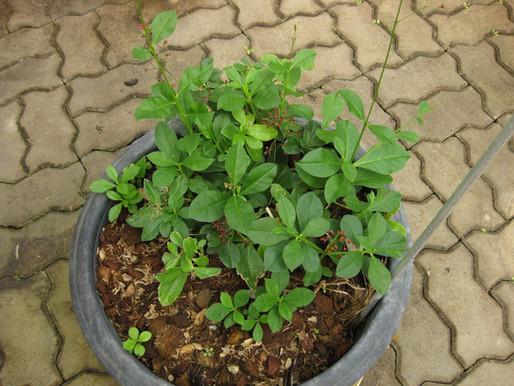 Ginseng Jawa