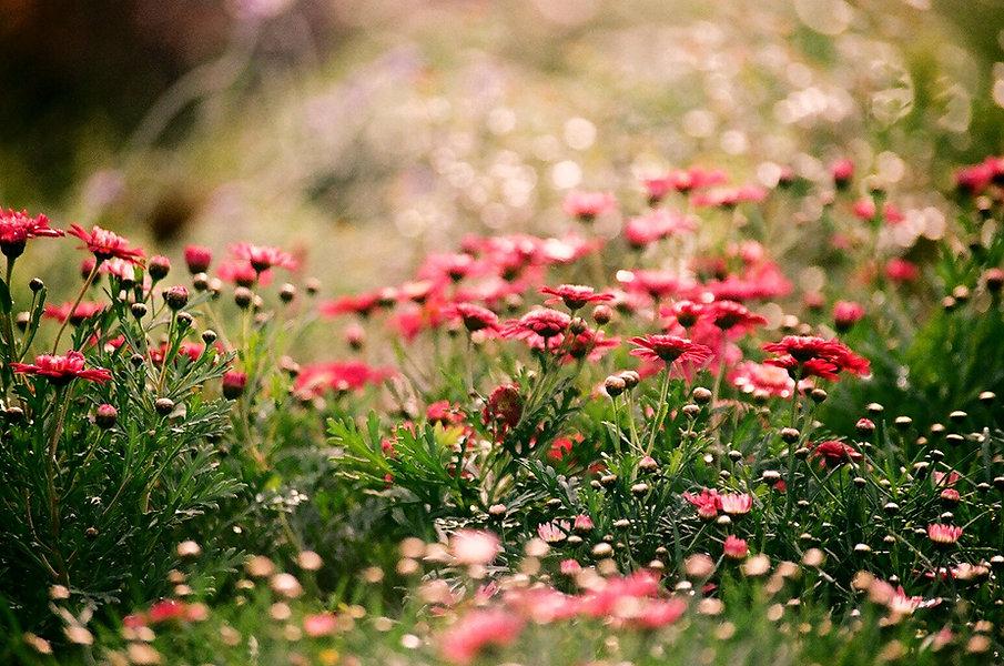 Field%20of%20Chrysanthemums%20_edited.jpg
