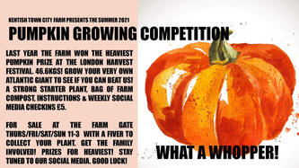 Pumpkin growing competition