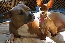 pit bull and chihuahua