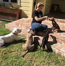 Training foster puppy, multi-dog training