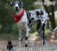 great-dane-spot-fell-off_edited.jpg