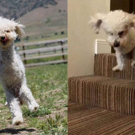 2-legged poodle walks on hind legs after remarkable recovery: 'The friendliest, happiest dog&#