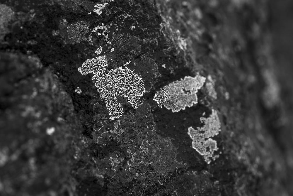 dinosaur lichen