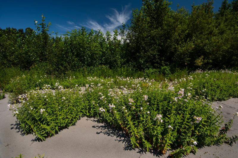 Wildflowers grow on an unnamed island skagit river