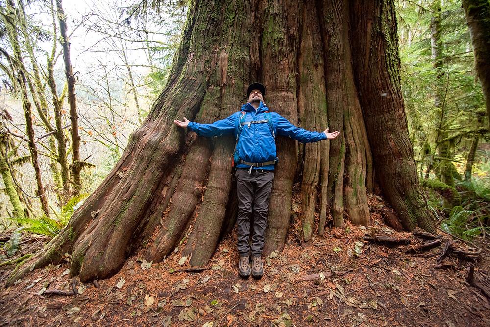 A large western red cedar tree