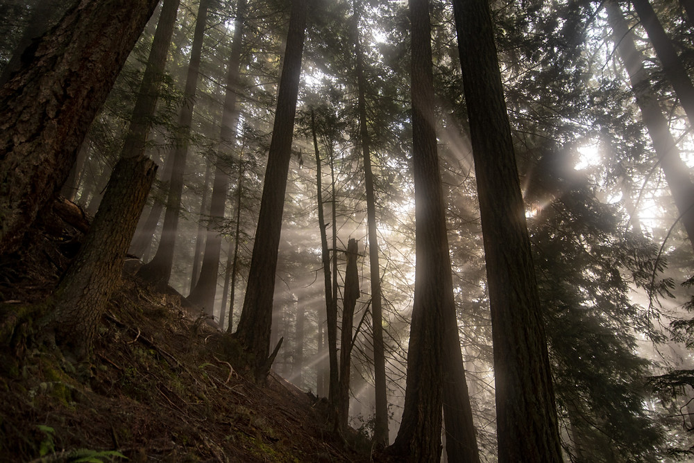 Sunrays streaming through a forest