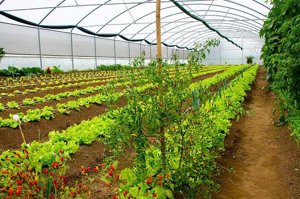 Na nossa estufa produzimos essencialmente alface, nabiça, espinafre e tomate
