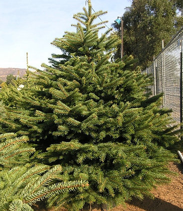 Potted Colorado Spruce