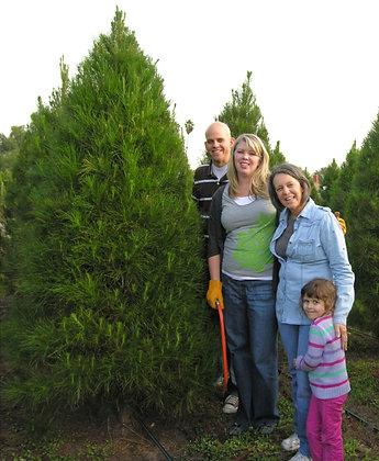 Choose & Cut Monterey Pines