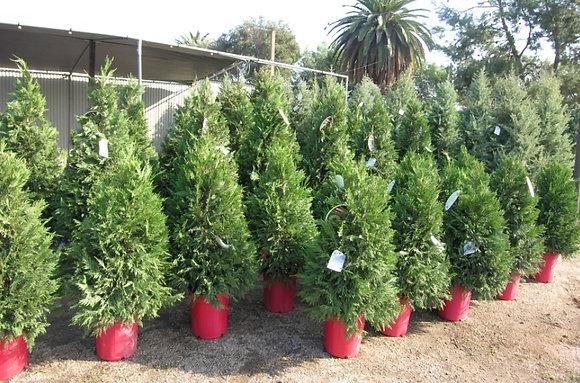 Potted Leylandii Cypress